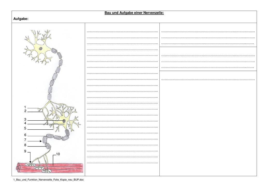 Erfreut Neuron Struktur Und Funktion Arbeitsblatt Antworten Bilder ...