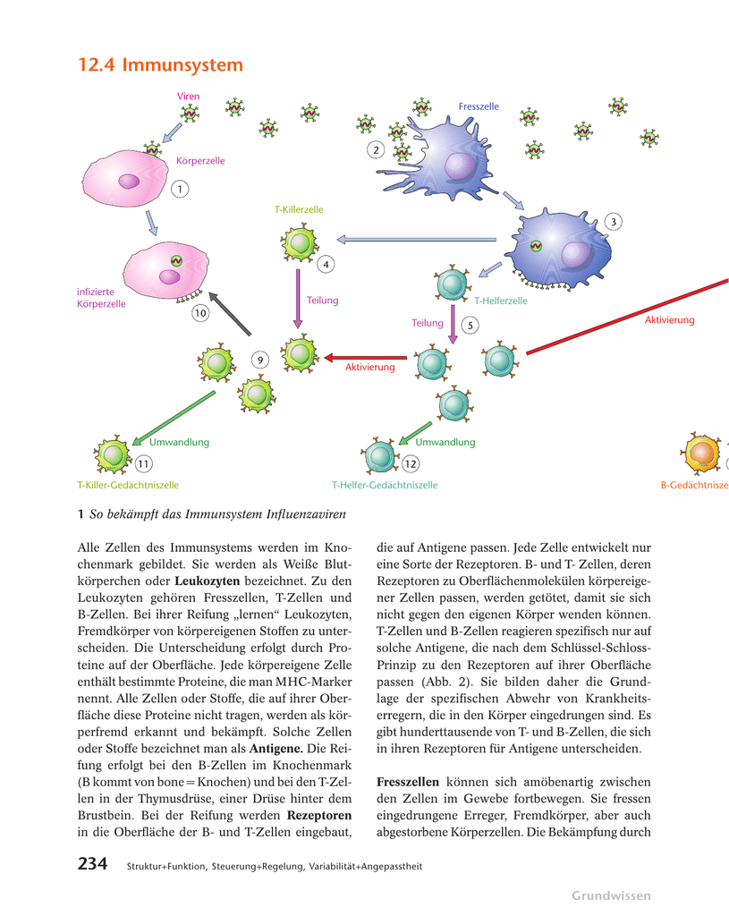 Arbeitsblatt Immunsystem Aufbauen : Charmant immunsystem bilder anatomie ideen