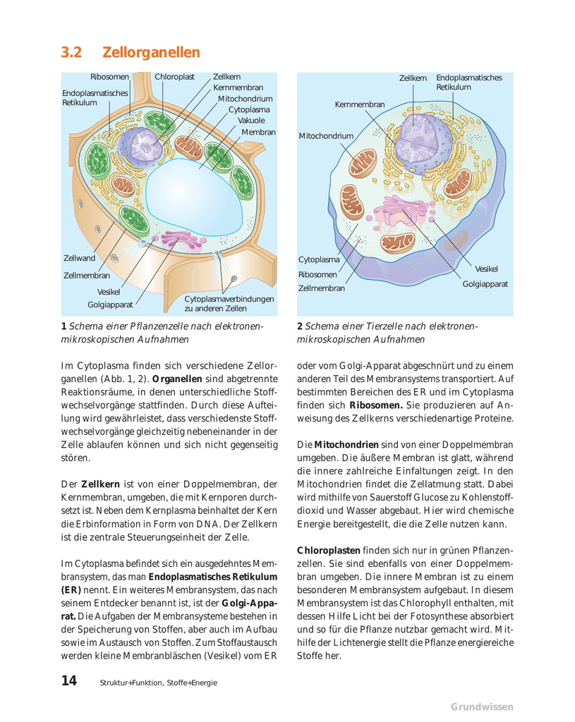 Tierzelle Pflanzenzelle Vergleich Arbeitsblatt - Carterdigital.club