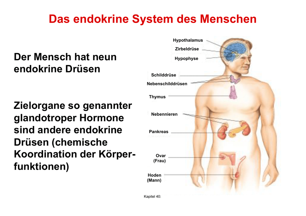 Das endokrine System des Menschen