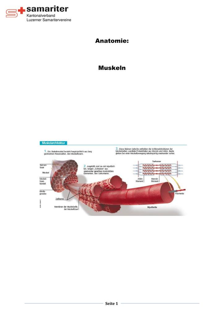 Muskeln - Samariter Luzern