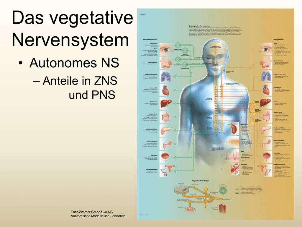 Vegetat. Nervensystem