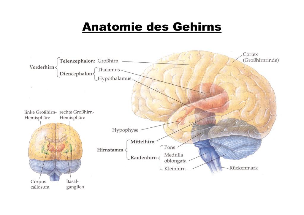 Beste Gehirn Und Rückenmark Anatomie Galerie - Menschliche Anatomie ...