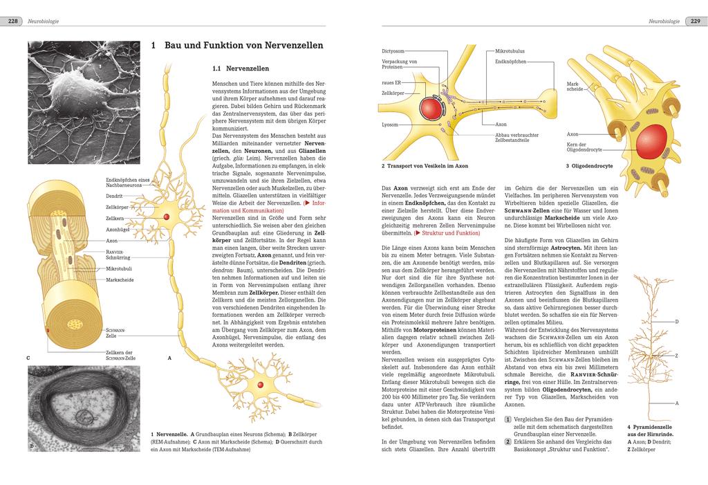 Bau und Funktion von Nervenzellen