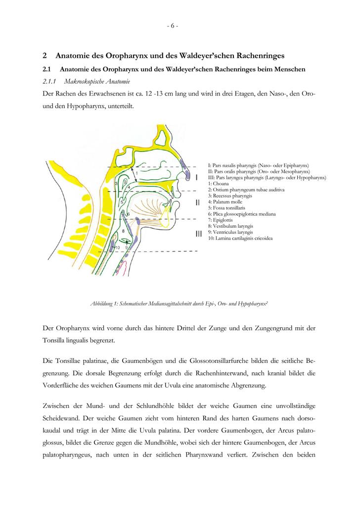 Großartig Makroskopische Anatomie Bedeutung Galerie - Menschliche ...