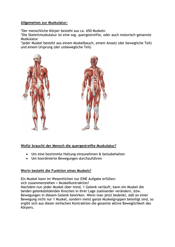 Allgemeines zur Muskulatur: *Der menschliche Körper besteht aus