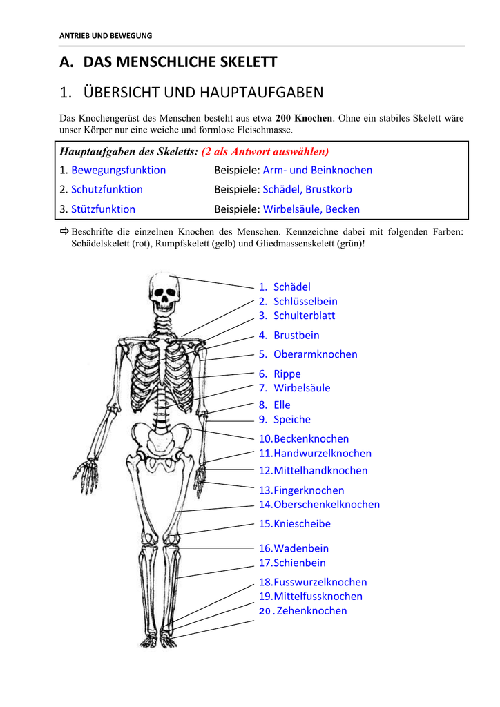 a. das menschliche skelett 1. übersicht und hauptaufgaben