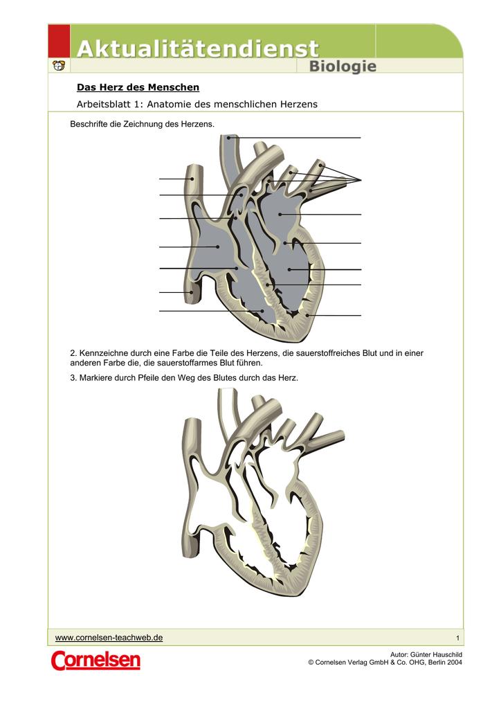 Das Herz des Menschen Arbeitsblatt 1: Anatomie des menschlichen
