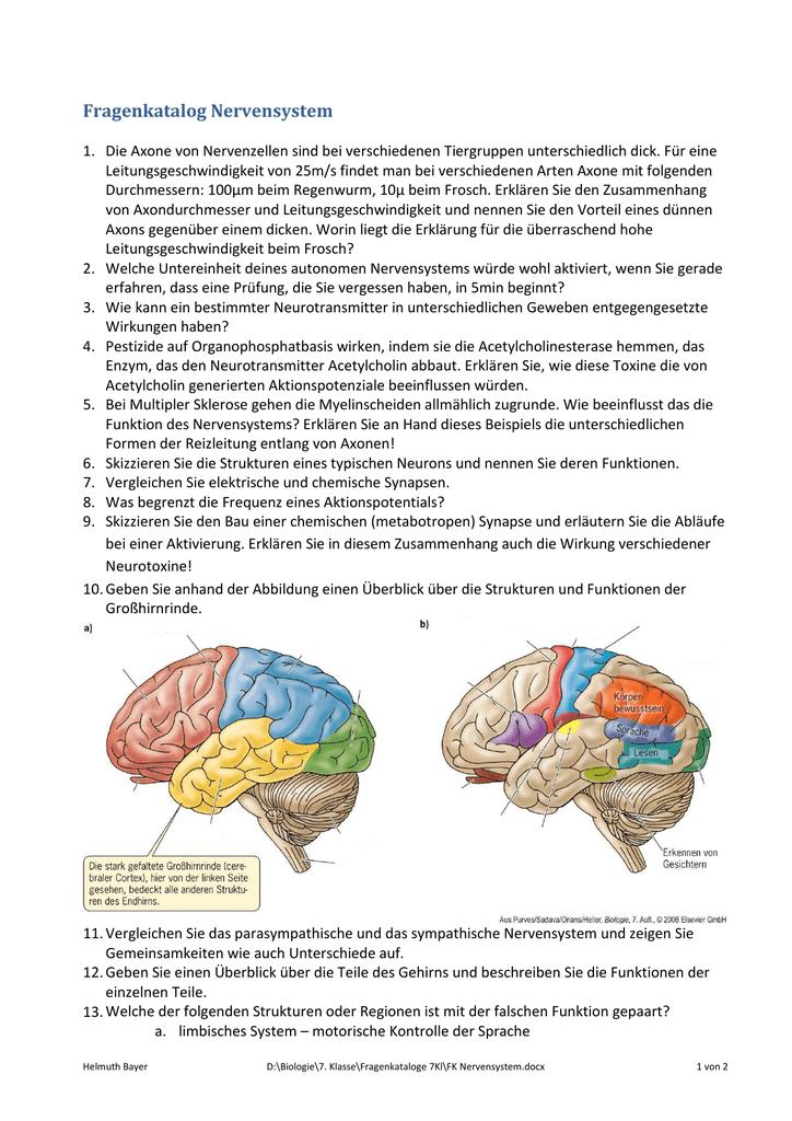 Schön Menschliches Gehirn Anatomie Und Funktionen Ideen ...