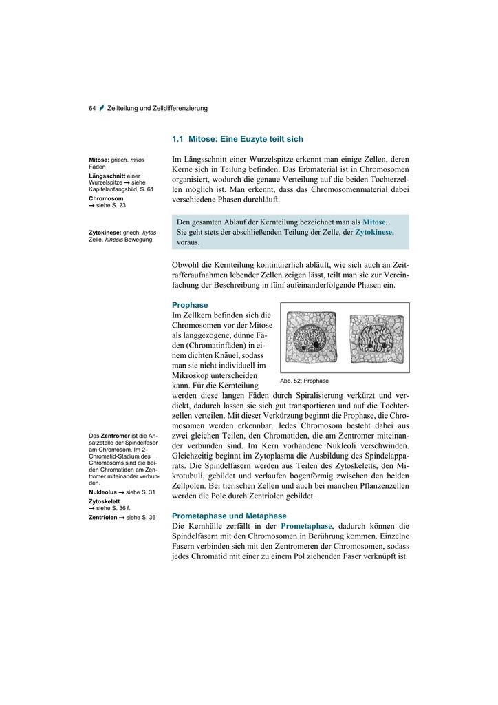 1.1 Mitose: Eine Euzyte teilt sich Im Längsschnitt
