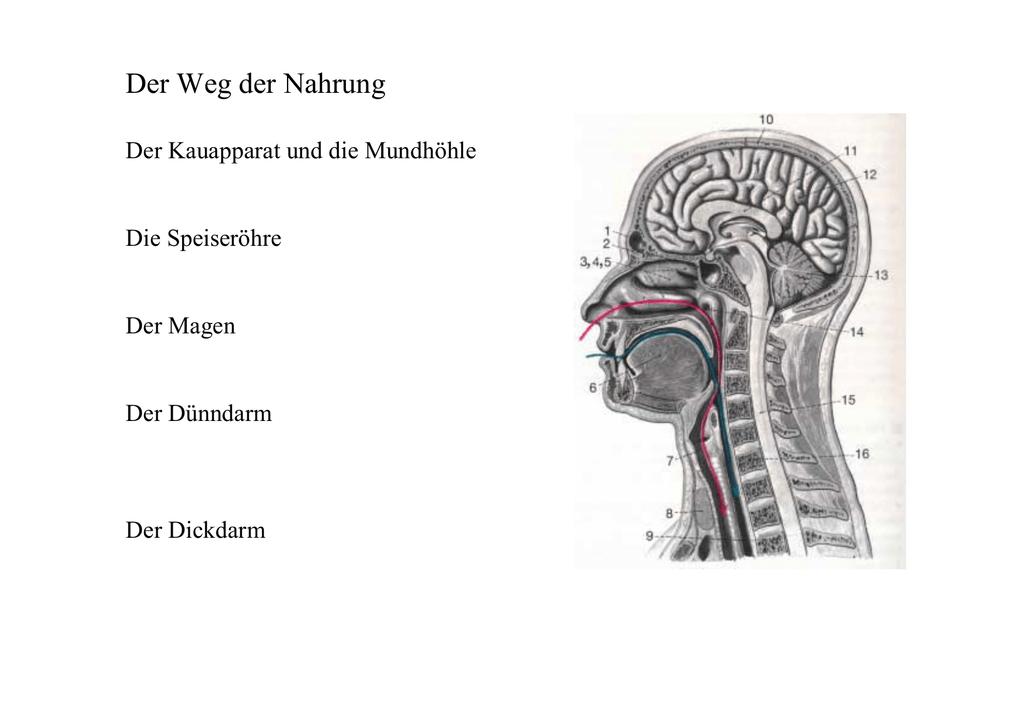 Groß Makroskopische Anatomie Der Typischen Langen Knochen Fotos ...