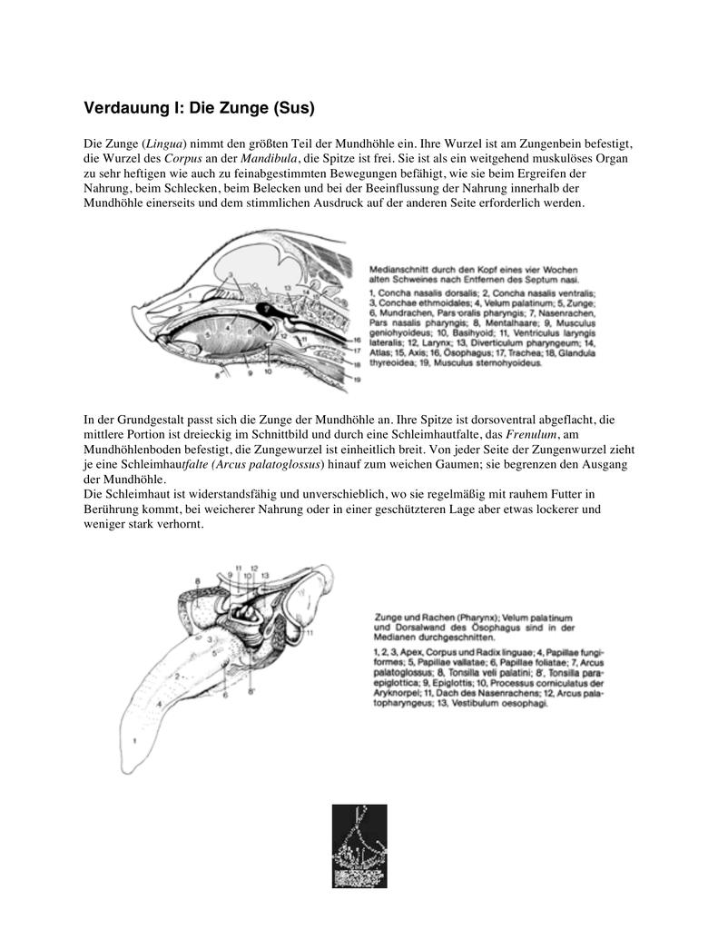 Verdauung I: Die Zunge (Sus)