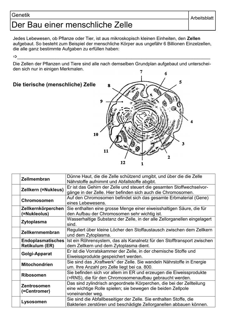 Charmant Zellstruktur Und Funktion Arbeitsblatt Mittelschule Galerie ...