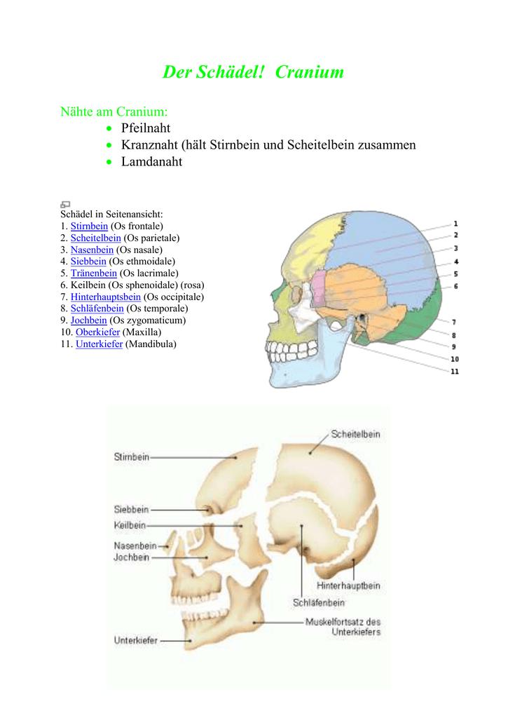 Schön Keilbein Ideen - Menschliche Anatomie Bilder - madeinkibera.com