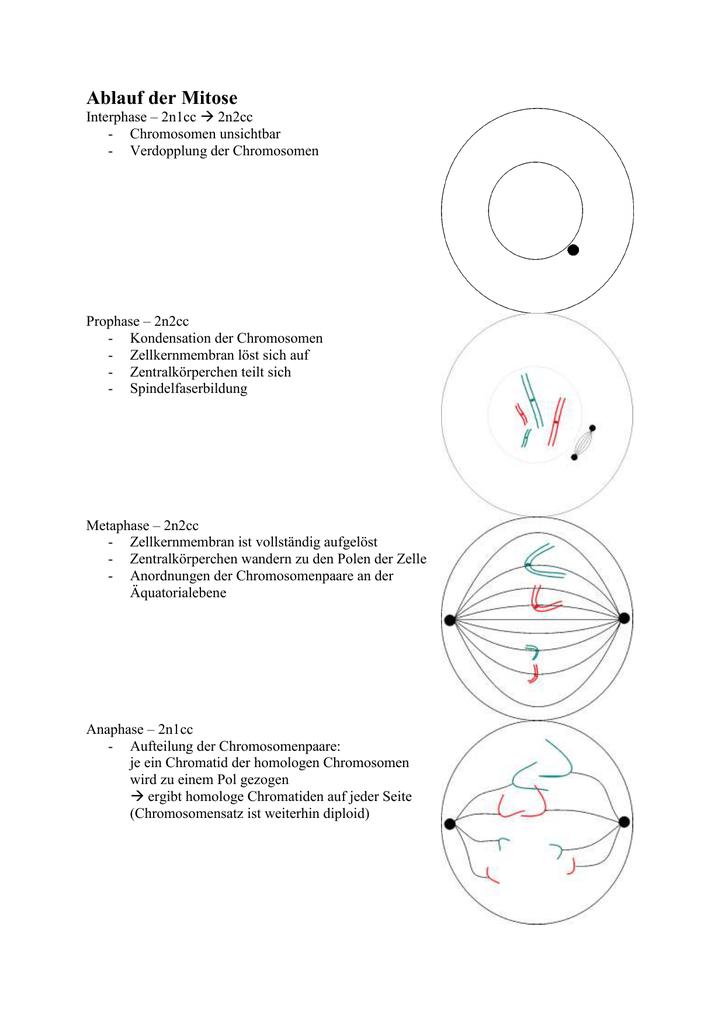 chromosomen mitose meiose. Black Bedroom Furniture Sets. Home Design Ideas