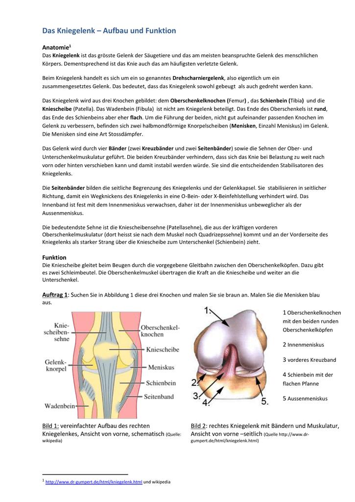 Beste Kniegelenk Muskeln Ideen - Menschliche Anatomie Bilder ...