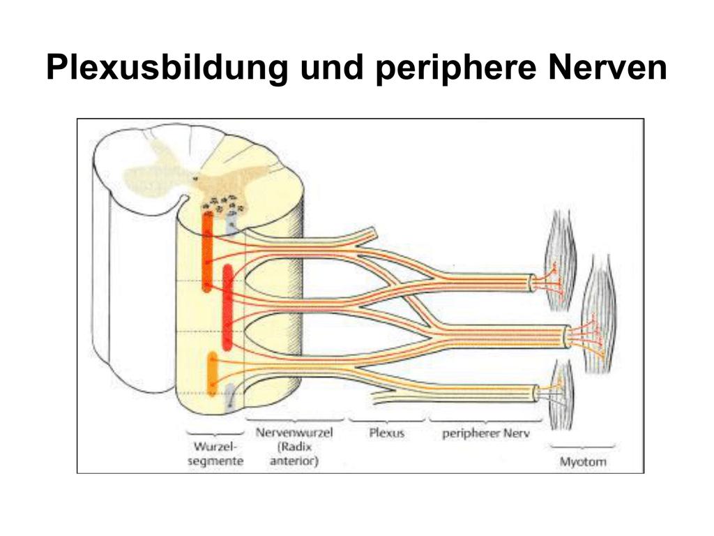Plexus cervicalis&brachialis
