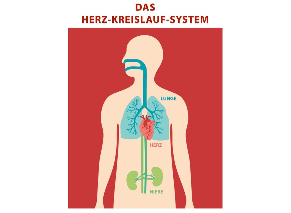 Tolle Anatomie Und Physiologie Herz Kreislauf System Test Galerie ...
