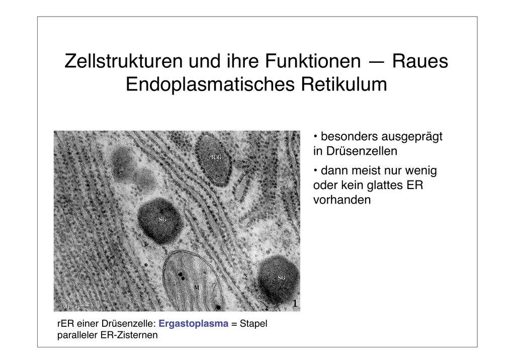 Zellstrukturen und ihre Funktionen — Raues Endoplasmatisches