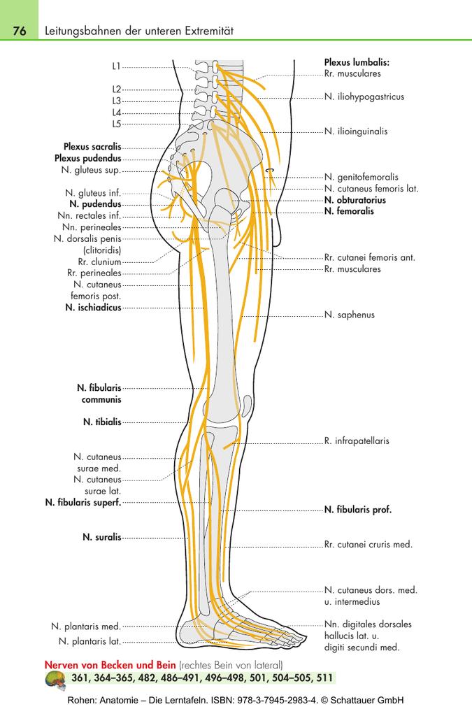 Nett Unterschenkel Nerven Anatomie Fotos - Menschliche Anatomie ...