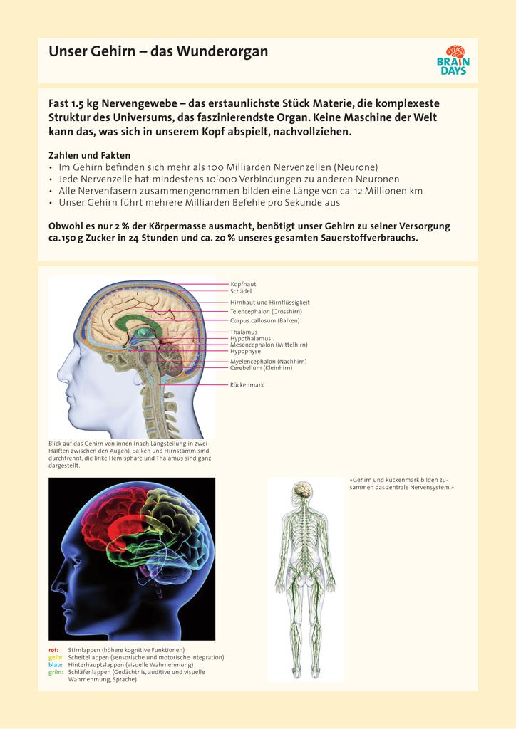 Groß Nervensystem Färbung Arbeitsblatt Fotos - Arbeitsblätter für ...