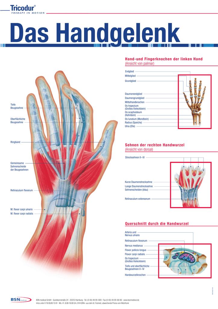 Sehnen der rechten Handwurzel (Ansicht von dorsal) Querschnitt