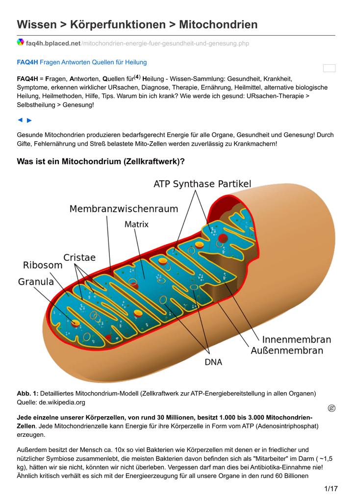Wissen > Körperfunktionen > Mitochondrien - FAQ4H