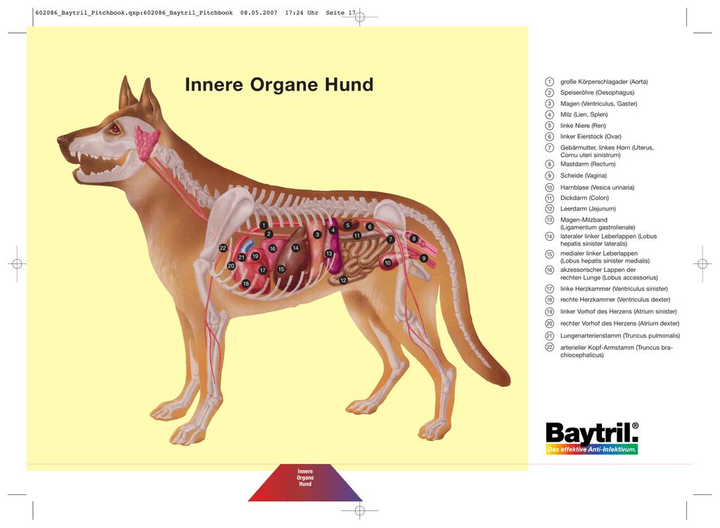 Innere Organe Hund