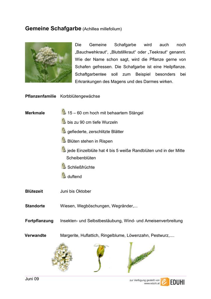 Juni 09 Gemeine Schafgarbe Achillea Millefolium Die Gemeine