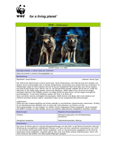 Wolf – Canis lupus