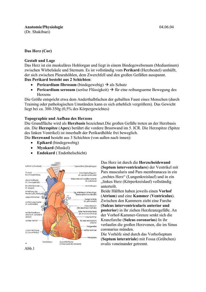 Anatomie/Physiologie 04.06.04 (Dr. Shakibaei) Das Herz (Cor