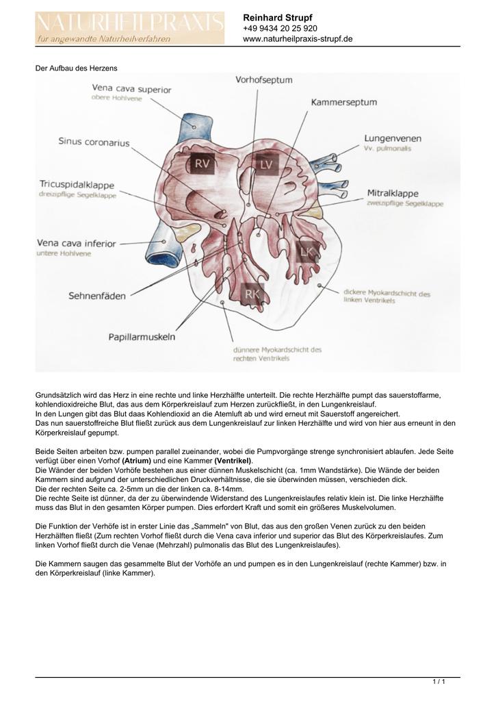 Der Aufbau des Herzens - Naturheilpraxis Strupf