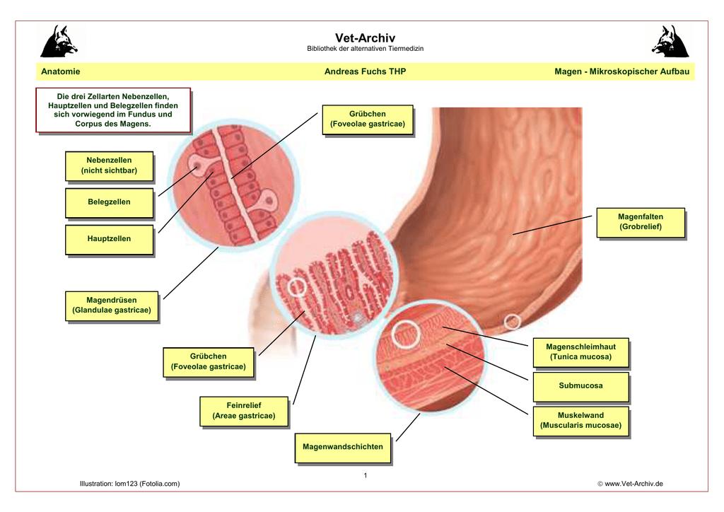 Magen - mikroskopischer Aufbau - Vet