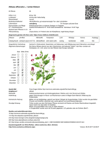 Althaea officinalis L. / echter Eibisch