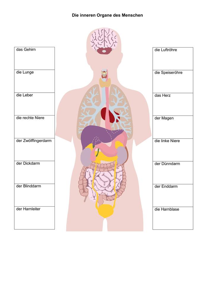 Schön Organe Des Menschlichen Körpers Diagramm Ideen - Menschliche ...