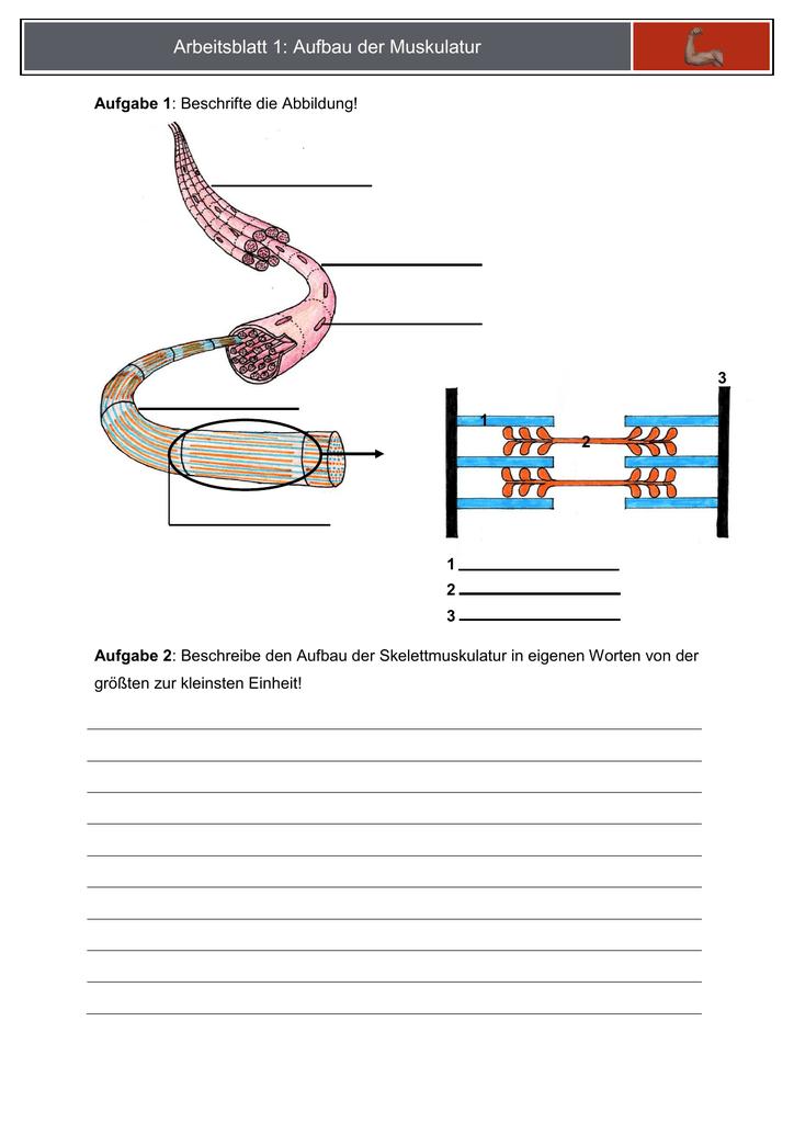 Arbeitsblatt 1: Aufbau der Muskulatur