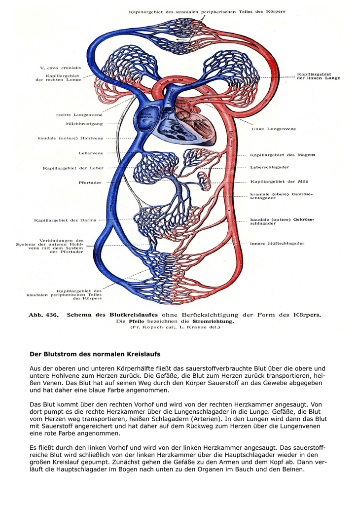 Groß Blutfluss Durch Das Herz Diagramm Galerie - Menschliche ...