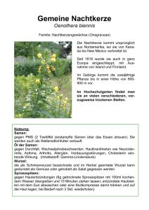 2400 Samen Sauerampfer gewöhnlich // Gras Gewürz orientalische