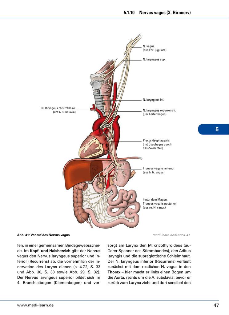47 5.1.10 Nervus vagus (X. Hirnnerv) - Medi