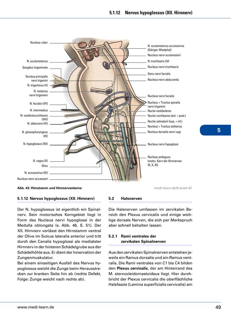 Erfreut 6. Hirnnerv Anatomie Galerie - Anatomie Ideen - finotti.info