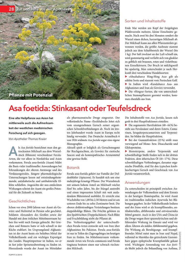 Teufelsdreck Ferula asafoetida Ayurveda Heilpflanze Homöopathie Gewürz