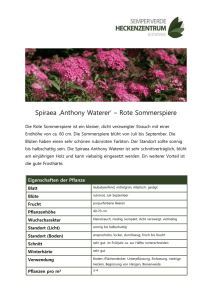 Spiraea 'Anthony Waterer` – Rote Sommerspiere