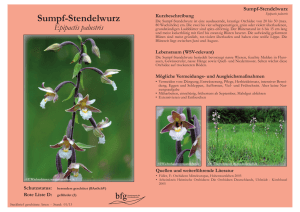 Sumpf-Stendelwurz - Epipactis palustris