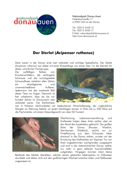 Der Sterlet. Kurzinformation. - Nationalpark Donau-Auen
