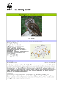 Sperlingskauz – Glaucidium passerinum