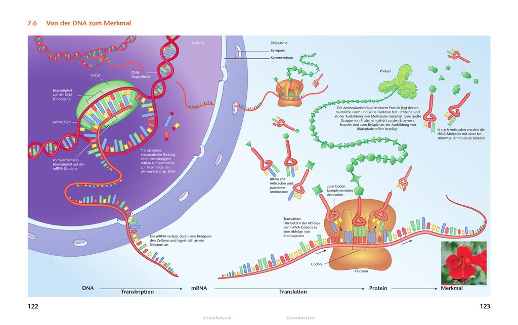 7.6 Von der DNA zum Merkmal