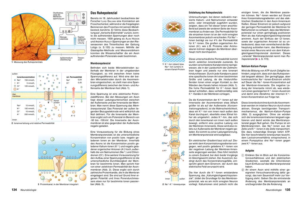 Beste Beinnerven Diagramm Zeitgenössisch - Menschliche Anatomie ...