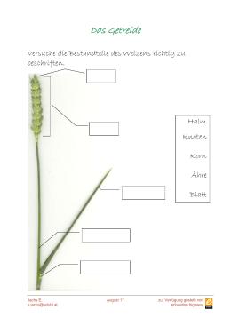 die pflanzen des monats juni roggen hafer gerste weizen2. Black Bedroom Furniture Sets. Home Design Ideas